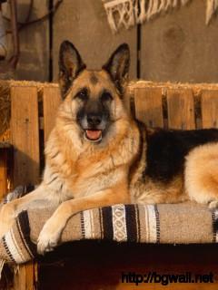 german-shepher-in-the-chair-wallpaper-hd-for-desktop