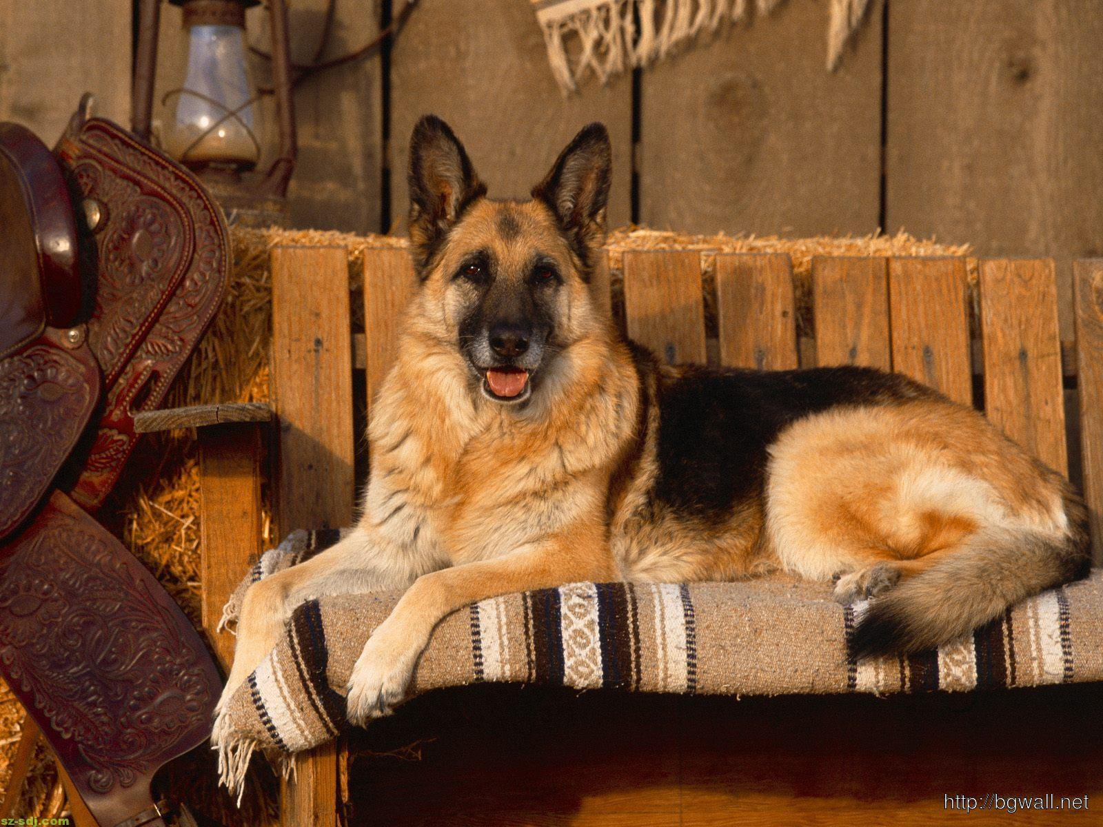 german-shepher-in-the-chair-wallpaper-hd-for-desktop