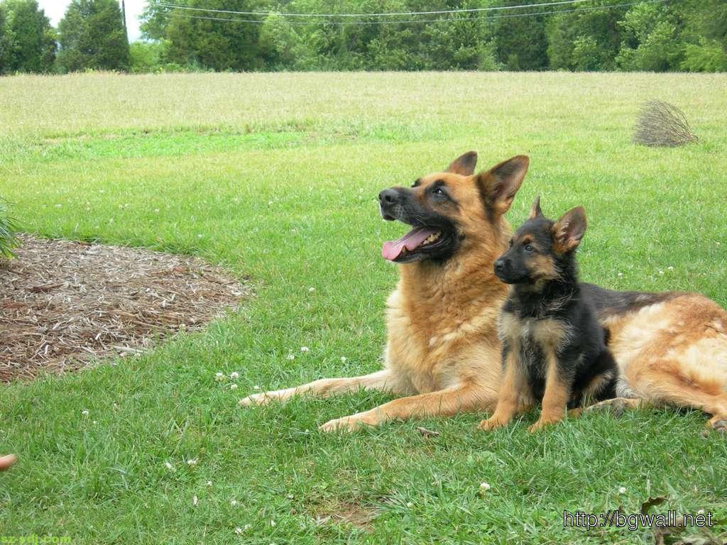 german-shepher-with-her-cute-puppy-desktop-wallpaper-high-definition