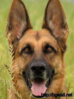 german-shepherd-hiding-at-the-grass-wallpaper-hd