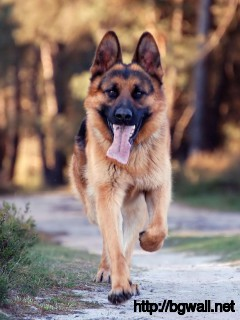 german-shepherd-walking-at-the-park-wallpaper-for-desktop-hd