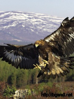 golden-eagle-bird-wallpaper