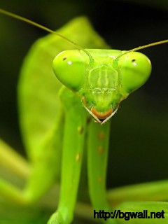 green-praying-mantis-face-wallpaper-hd