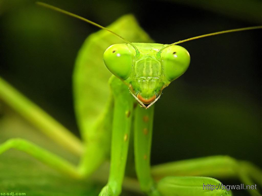 the background of the praying mantis The praying man-tis - a kid was born on 24:14th street in the city of foshan, guangdong province in china and he was named matthew_ a gift fro.