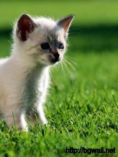 himalayan-cat-kitten-wallpaper-hd