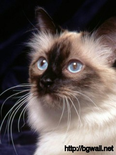 himalayan-cat-look-for-something-wallpaper-hd