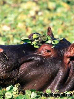 hippopotamus-africa-wallpaper