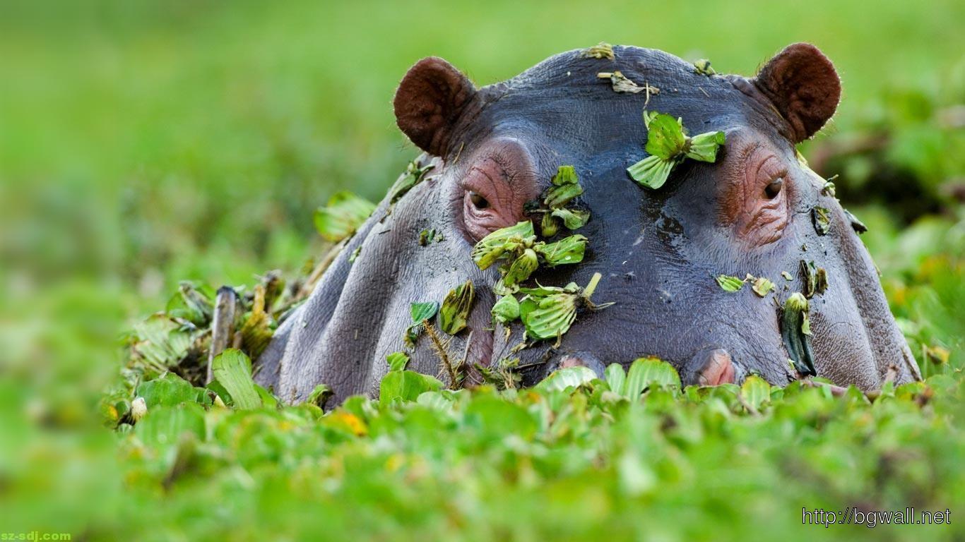 hippopotamus-desktop-wallpaper